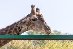 Портрет жирафа на природе Стоковое Изображение