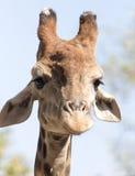 Портрет жирафа на природе Стоковое Изображение RF