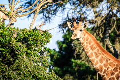 Портрет жирафа на саванне Стоковая Фотография RF