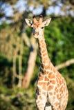 Портрет жирафа на саванне Стоковые Изображения RF