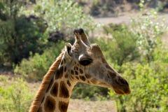 Портрет жирафа принятый на сафари в Африке Стоковая Фотография RF