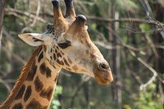 Портрет жирафа принятый на сафари в Африке Стоковая Фотография