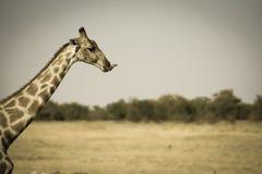 Портрет жирафа при trongue выступая Стоковая Фотография RF