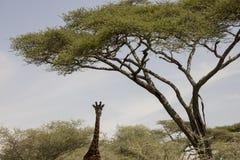 Портрет жирафа стоя в Serengeti, Танзании Стоковые Изображения