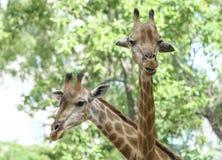 Портрет жирафа с длинной шеей и смешной головой Стоковое Изображение RF