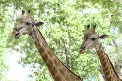 Портрет жирафа с длинной шеей и смешной головой Стоковые Фото