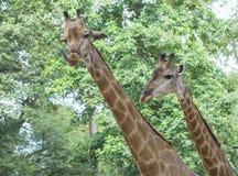 Портрет жирафа с длинной шеей и смешной головой Стоковые Фотографии RF