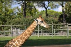Портрет жирафа Стоковая Фотография RF