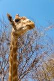 Портрет жирафа Стоковые Фотографии RF