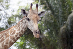 Портрет жирафа Стоковое фото RF