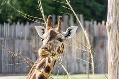 Портрет жирафа Стоковая Фотография