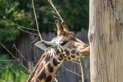 Портрет жирафа Стоковые Фото