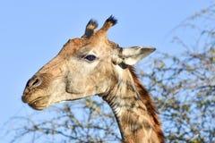 Портрет жирафа - Etosha, Намибия Стоковая Фотография RF