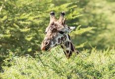 Портрет жирафа Masai с предпосылкой акации Стоковые Изображения