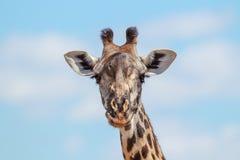 Портрет жирафа Masai с предпосылкой голубого неба Стоковое фото RF