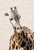 Портрет жирафа Rothschild, животной сцены Стоковое фото RF