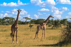 Портрет жирафа 2 serengeti Танзания Стоковое фото RF