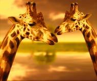 Портрет жирафы на предпосылке природы на заходе солнца Стоковое Изображение