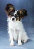 Портрет забавляя щенка Papillon Стоковая Фотография