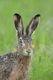 Портрет зайцев Брайна