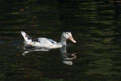 Портрет заплывания утки Анконы в своей естественной среде обитания Стоковая Фотография