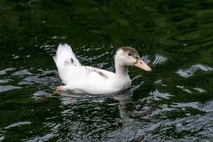 Портрет заплывания утки Анконы в своей естественной среде обитания Стоковые Изображения RF