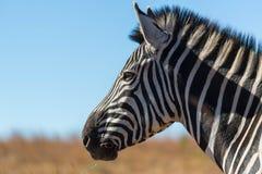 Портрет зебры в одичалом Стоковые Изображения