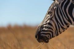 Портрет зебры в одичалом Стоковые Фото