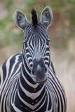 Портрет зебры в фото цвета с концом-вверх голов Стоковое Изображение