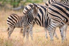 Портрет зебры в фото цвета с концом-вверх голов Стоковые Фотографии RF