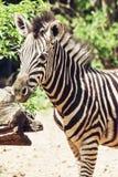 Портрет зебры горы hartmann (hartmannae зебры Equus) Стоковые Фотографии RF