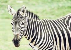 Портрет зебры горы hartmann (hartmannae зебры Equus), Стоковые Изображения RF