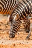 Портрет зебры есть некоторый плодоовощ Стоковые Изображения