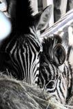 Портрет зебры и его младенца Стоковое Фото