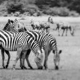 Портрет зебры на африканской саванне Сафари в Serengeti, Танзании Стоковое фото RF
