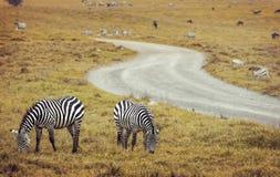 Портрет зебры на африканской саванне Сафари в Serengeti, Танзании Стоковые Изображения