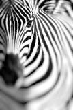 Портрет зебры на африканской саванне Сафари в Serengeti, Танзании Стоковое Изображение
