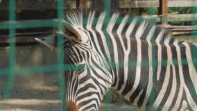 Портрет зебры на зоопарке видеоматериал