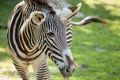 Портрет зебры на предпосылке зеленой травы в ЗООПАРКЕ Остраве Стоковое Изображение RF