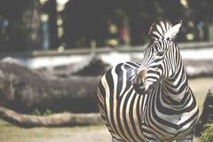 Портрет зебры на Serengeti Танзании Африке Стоковые Фотографии RF