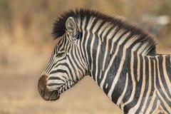 Портрет зебры, парк Kruger, Южная Африка Стоковые Фото