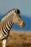 Портрет зебры равнин Стоковые Фото