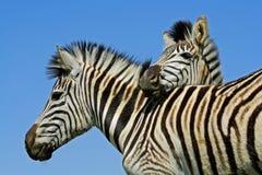 Портрет зебры равнин Стоковые Изображения RF