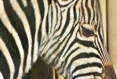 Портрет зебры Стоковая Фотография