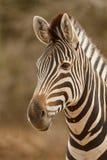 Портрет зебры Стоковые Изображения RF