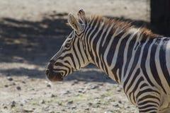 Портрет зебры Стоковые Фото