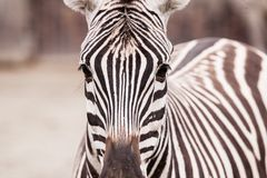 Портрет зебры Стоковое Фото