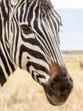 Портрет зебры Стоковое фото RF