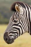 Портрет зебры Burchell Стоковая Фотография