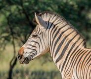 Портрет зебры Burchell Стоковые Изображения